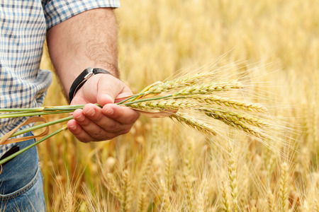 agricultor: Farmer con trigo en las manos. Campo de trigo en el fondo. Foto de archivo