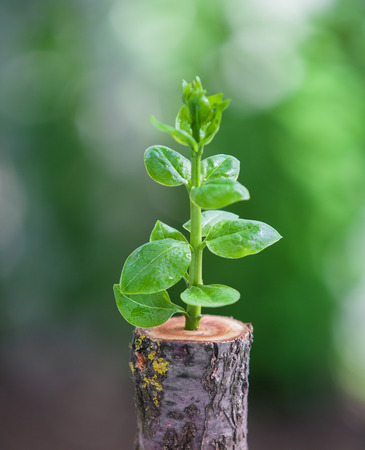 reborn: Young tree seedling grow from stump, new life and rebirth concept Stock Photo