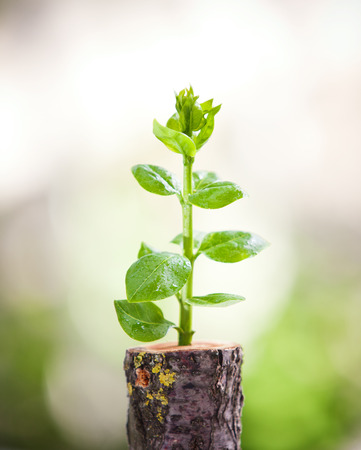 regenerate: Young tree seedling grow from stump, new life and rebirth concept Stock Photo