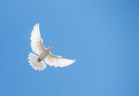 dove: Paloma blanca volando en el cielo