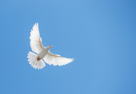 doves: White dove flying in the sky