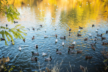 mated: Ducks and a drake swim on water in a lake, autumn Stock Photo