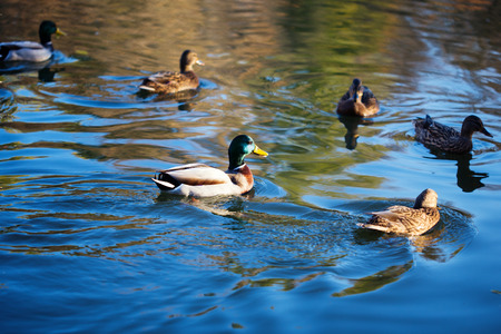 mated: Mated pair of Mallards in beautiful water, with reflections Stock Photo