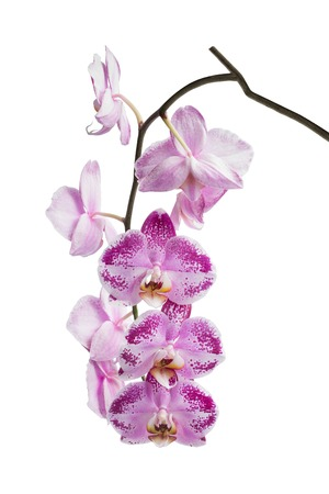 fuchsias: Blooming motley orchid isolated over white background.