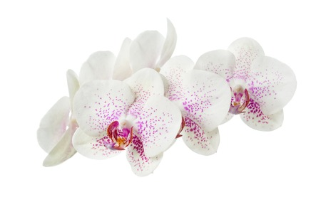motley: Blooming motley orchid isolated over white background.