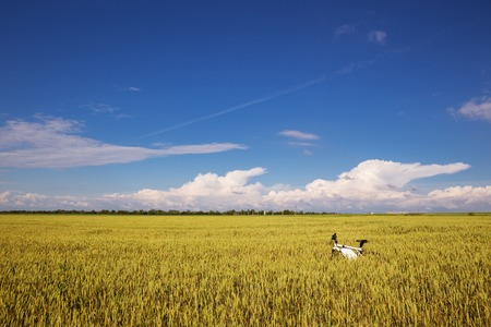 nonpolluting: Summer outdoor photo e-bike in gold wheat field.