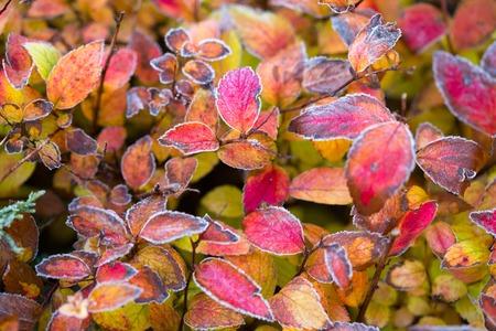 Frozen plants in winter with the hoar-frost.