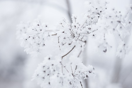 crystall: Frozen plants in winter with the hoar-frost Stock Photo