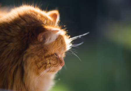 Ginger cat in morning light