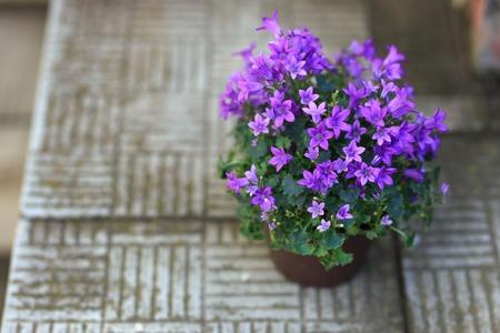 petites fleurs: De petites fleurs de campanule pourpre plantées dans un pot brun sur un escalier en pierre