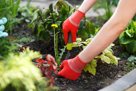 Photo of gloved woman hand holding weed and tool removing it from soil. Archivio Fotografico