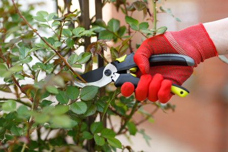 Girl cuts or trims the bush with secateur in the garden. Stok Fotoğraf