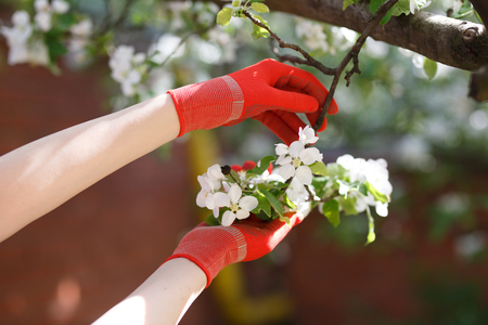 Blossoming apple branch in gloved womens hands. Stock Photo