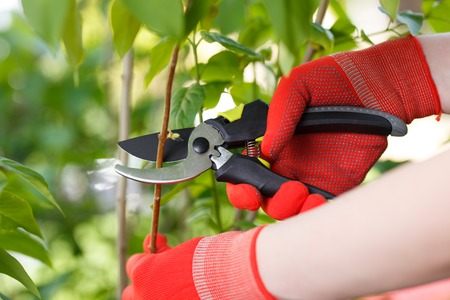 Girl cuts or trims the bush with secateur in the garden. Stock Photo