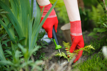 Photo of gloved woman hand holding weed and tool removing it from soil. Standard-Bild