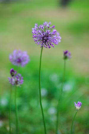 flowerhead: Close up photo beautiful allium flowers in garden.