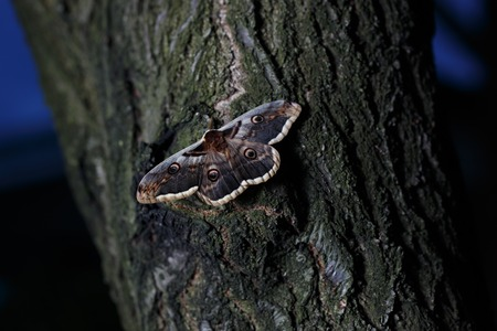 Giant peacock moth Saturnia pyri sitting on tree in dusk light. Stock Photo
