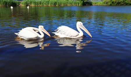 Two white Pelicans in the city zoo, swim along the lake.