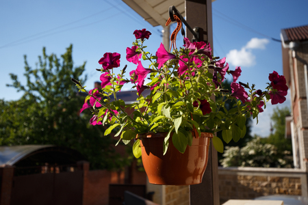 Petunias flower in pot hanging from the roof of the house
