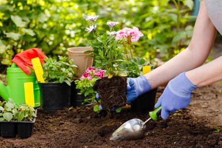 Gardener woman planting flowers in the summer garden at morning.