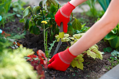 Zdjęcie rąk kobiety w rękawiczkach z narzędziem do usuwania chwastów z gleby