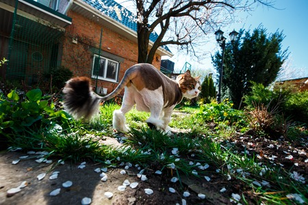 Norwegian Forest Cat walks through the courtyard of the house in the garden which is covered with petals of a blossoming tree apricot