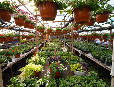 Flowers inside a garden center greenhouse, wide angle photo