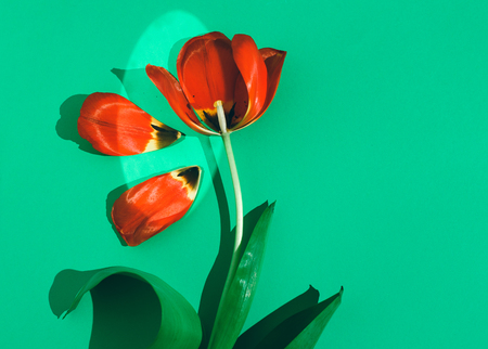 Tulip flower on green background in the sunlight