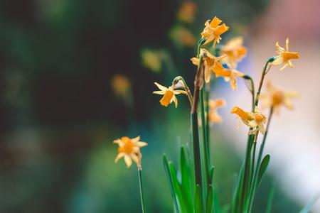 Beautiful Yellow daffodil flowers in pot on the windowsill