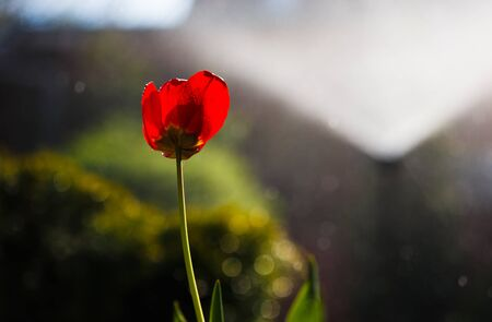 Red tulip in drops of water from an irrigation plant in a home garden