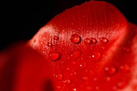 Close-up of a leaf of red tulip in drops of water under the rays of sunlight