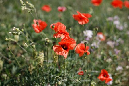 Poppy flowers in a field