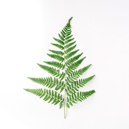 fern branch isolated on white background. flat lay, top view