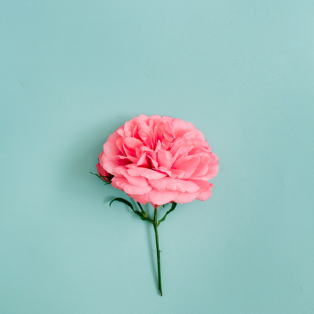 Beautiful pink rose flower on blue background. Flat lay, top view. Foto de archivo