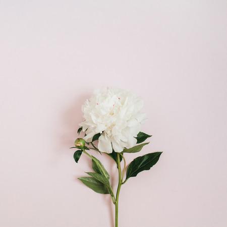 Beautiful white peony flower on pink background flat lay top beautiful white peony flower on pink background flat lay top view stock photo mightylinksfo