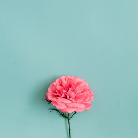 Beautiful pink rose flower on blue background. Flat lay, top view. Stock Photo