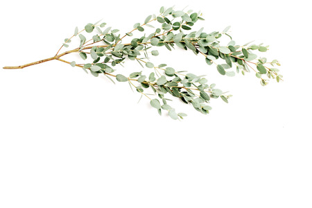 Eucalyptus branch on white background. Minimal floral composition. Top view.