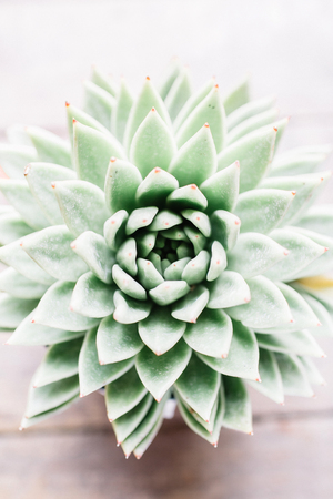Close-up of green succulent flower.