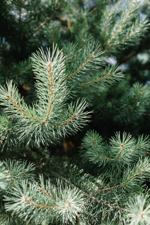 Close-up of fir-tree branches.