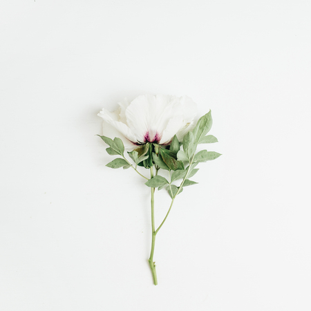 White peony flower on white background. Flat lay, top view.