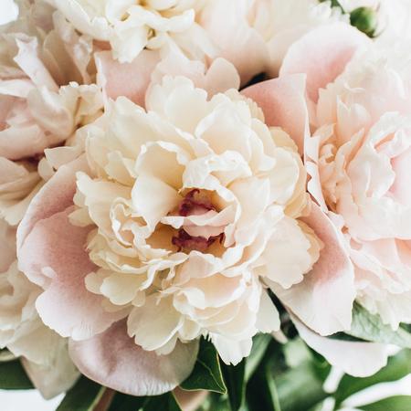Closeup of pink peony flowers on white background. Foto de archivo