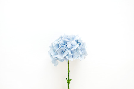 Blue hydrangea flower on white background. Flat lay, top view. Banco de Imagens