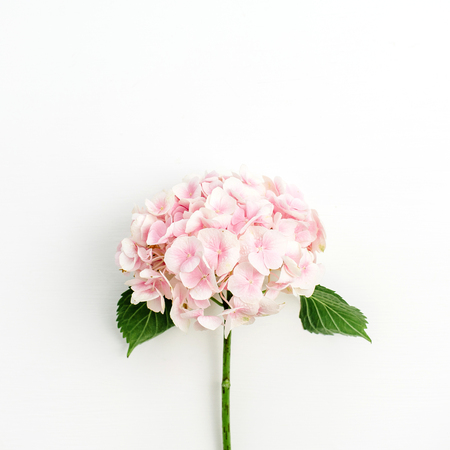 Pink hydrangea flower isolated on white background. Flat lay, top view. 写真素材 - 115186851