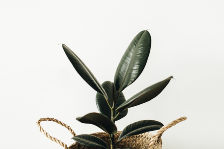 Home plant ficus robusta in straw basket on white background. Stock Photo