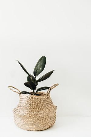 Ficus robusta en cesta de paja sobre fondo blanco. Concepto interior mínimo de la planta casera. Foto de archivo