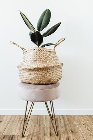Home plant ficus elastica robusta in straw bag on stool on white background. Minimal modern interior design.