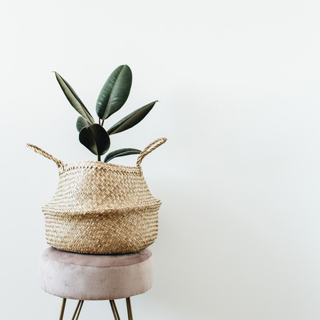 Home plant ficus elastica robusta in straw bag on stool on white background. Minimal modern interior design.