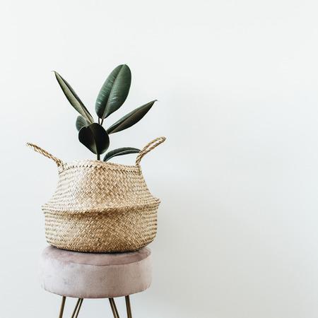 Pianta domestica ficus elastica robusta in borsa di paglia su sgabello su sfondo bianco. Design d'interni moderno e minimale.