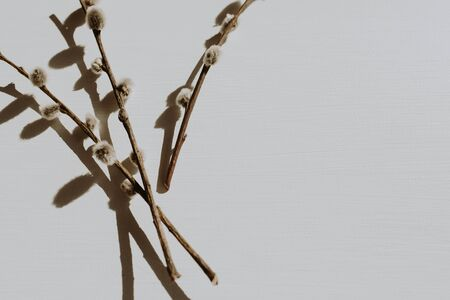 Dry pussy-willow branch on dusty grey background. Flat lay, top view minimal neutral floral composition.