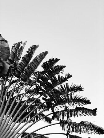 아름다운 바나나 나무. 흑백 색상의 자연스러운 최소한의 배경입니다. 여름과 여행 컨셉입니다. 스톡 콘텐츠